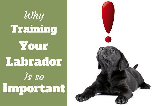 Importance de la formation de labrador: laboratoire noir chiot regarde un point d`exclamation rouge