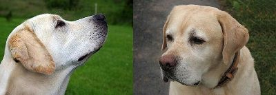 type d`anglais et américains Labrador Retrievers tête