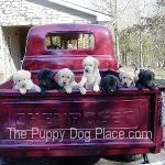 photo des chiots de laboratoire en camionnette