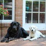 Oakley & amp; Cooper Labrador Retriever