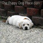 Luke Cream Lab Puppy