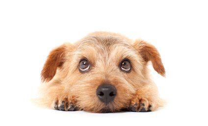 Adorable chiot Terrier