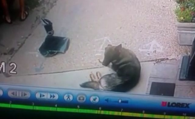 Thieves buste fenêtre de camion pour voler un ordinateur portable, par inadvertance enregistrer chien enfermé à l`intérieur