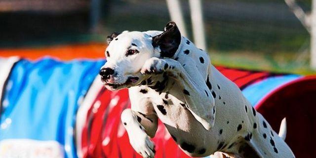 Top 10 des meilleurs chiens pour la formation d`agilité