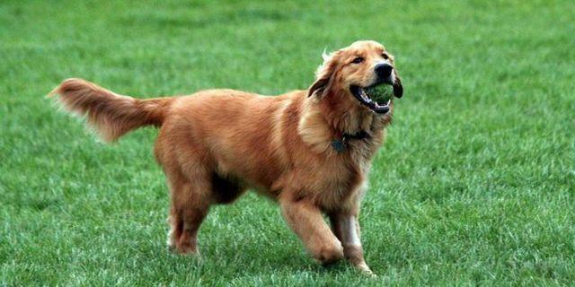 Top 10 des meilleurs chiens pour les débutants