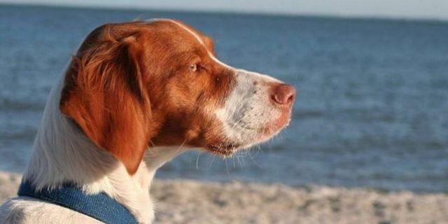 Top 10 des meilleurs chiens pour la chasse aux oiseaux