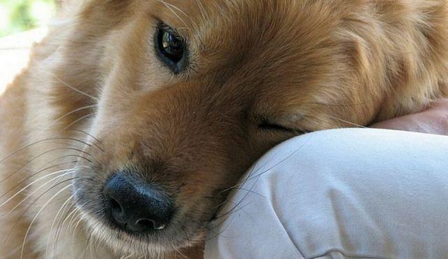 Top 10 des meilleurs chiens pour la dépression