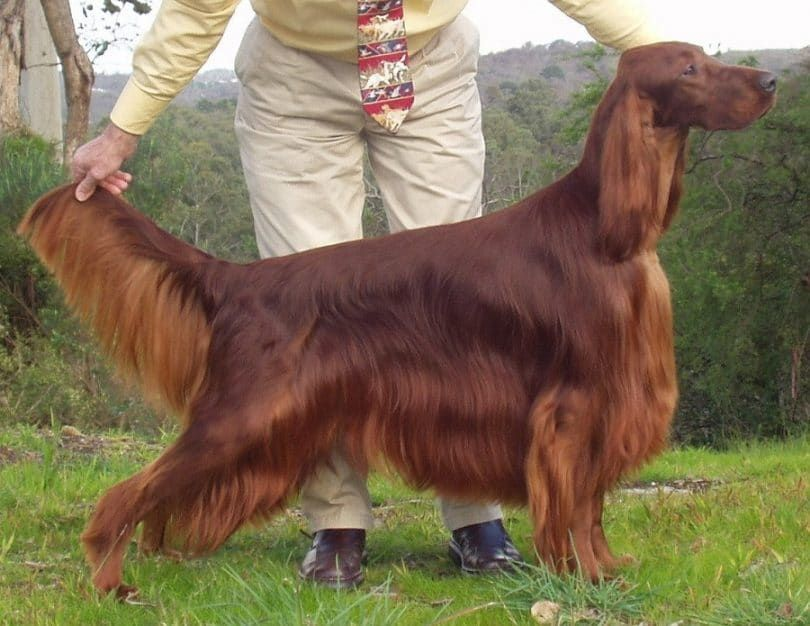 chien Setter irlandais