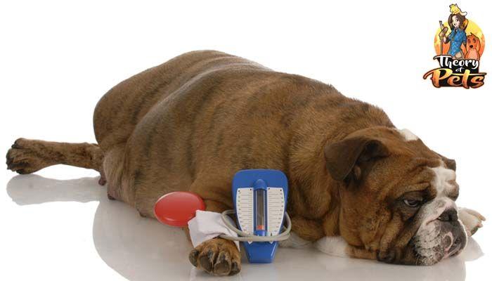 Top # 8: traiter le diabète canin ft Rachel poulin, RVT.