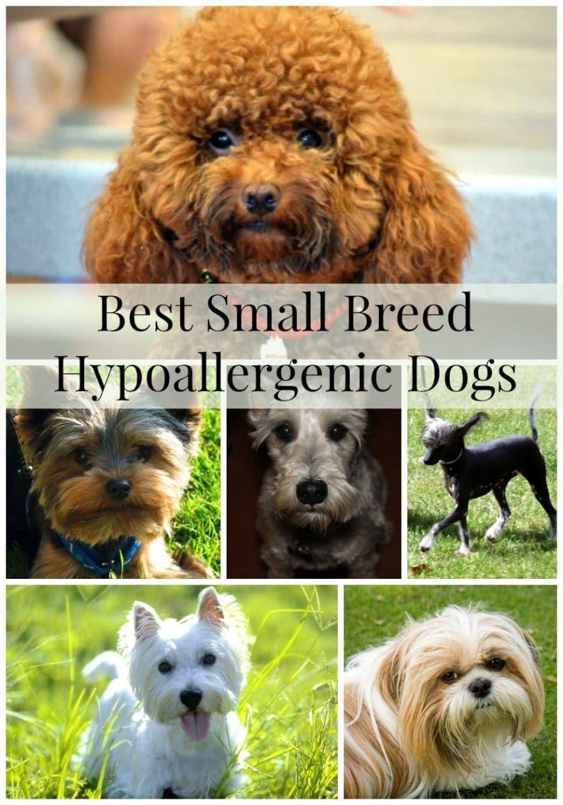 Meilleures petites races de chiens hypoallergéniques