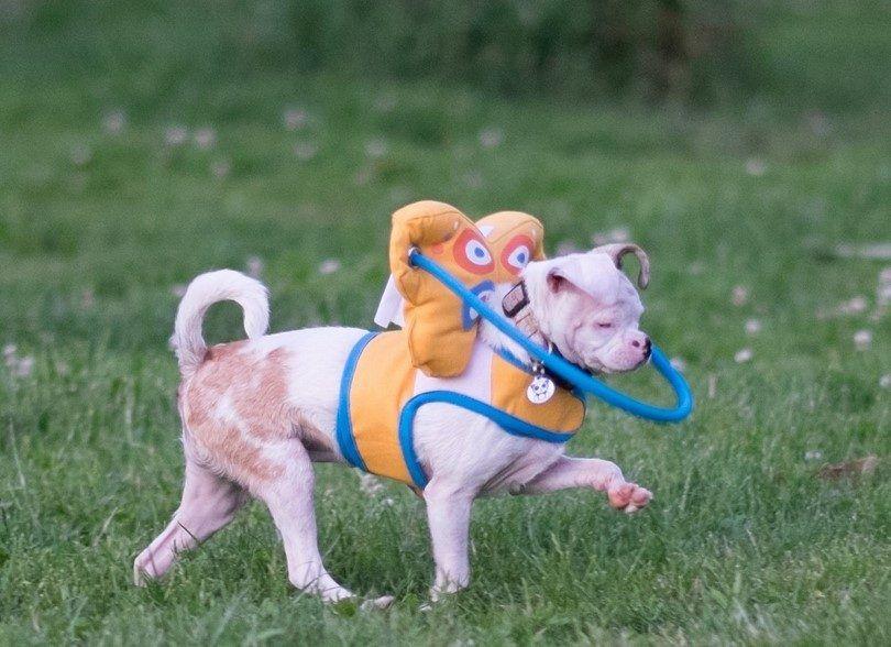 Jouets pour les chiens aveugles: doivent avoir des jouets pour votre chien ayant une déficience visuelle