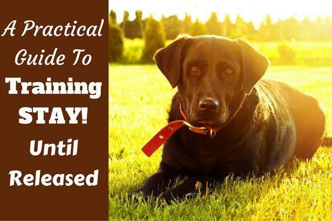 Entraînez votre labrador de rester assis ou couché jusqu`à sa libération