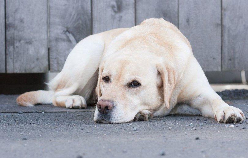 Les tumeurs chez les chiens: les tumeurs canines les plus courantes