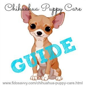 chihuahua ultime guide de soins chiot