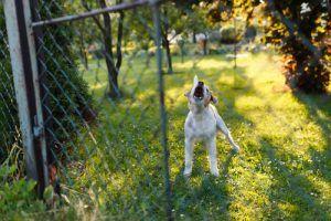 barking2
