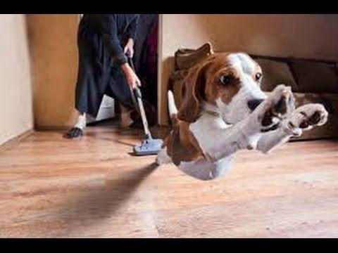 Vidéo: comment les chiens réagissent aux aspirateurs