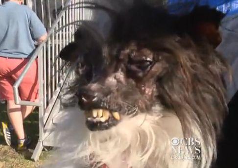 Vidéo: chien le plus laid du monde est couronné