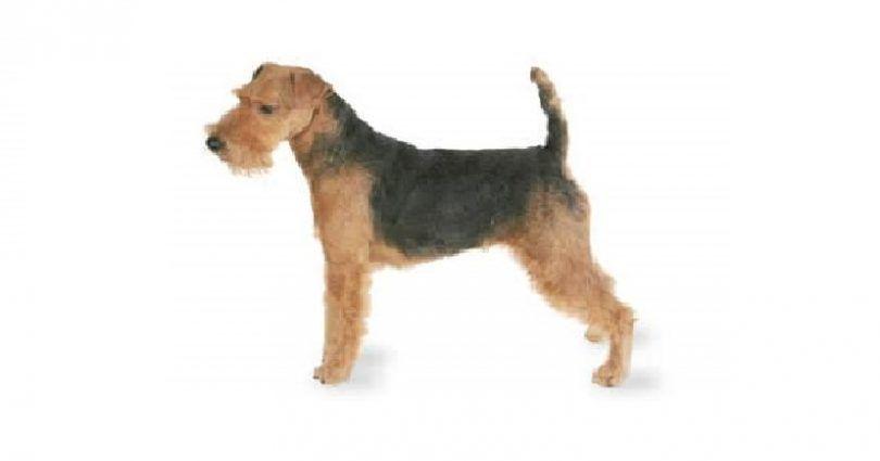 terrier gallois
