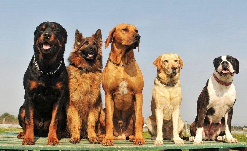 Quelle race est mon chien: comment déterminer la race de votre animal de compagnie