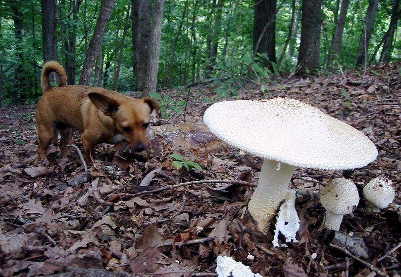 champignons et chiens sauvages