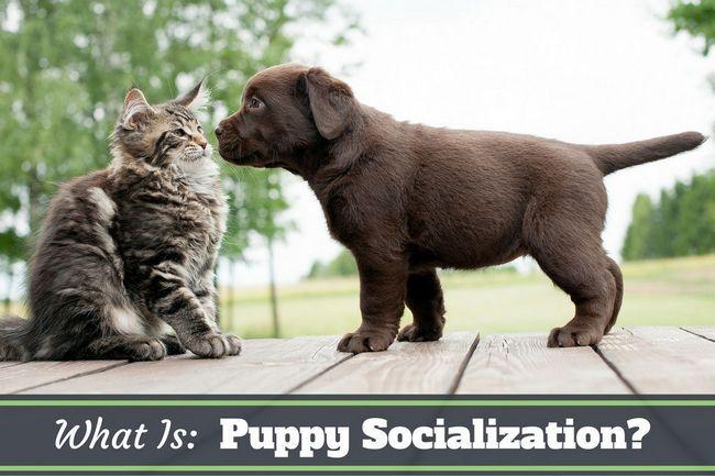 Quelle est la socialisation chiot: Première rencontre avec un chaton