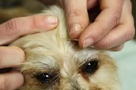 Qu`est-ce que l`acupuncture vétérinaire et peut-il aider votre chien?
