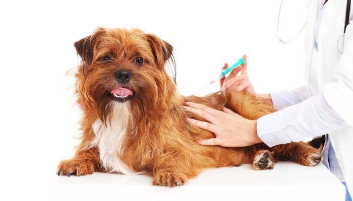 Que Shots Ne chiots besoin - Calendrier de vaccination Dog