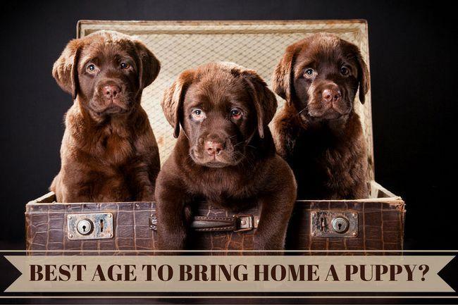 Meilleur âge pour amener une maison Labrador chiot: 3 chiots Labrador chocolat dans un coffre