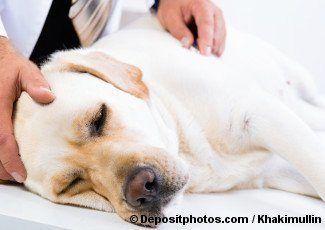 Labrador avoir été touché