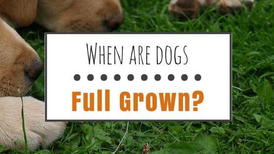 Quand les chiens pleine cultivées?