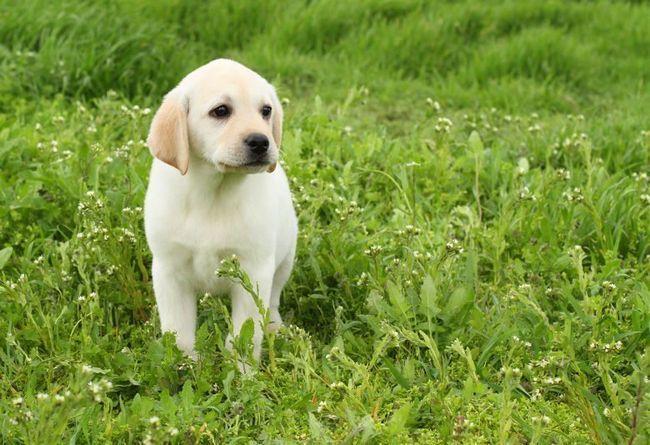 Jaune chiot labrador assis dans luxuriante, longue herbe verte