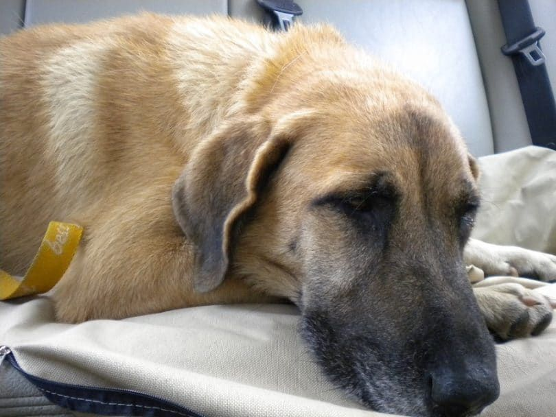 l`euthanasie chien