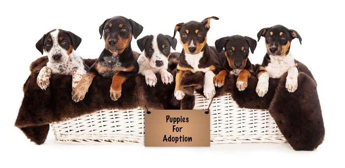 de nombreux chiots pour adoption