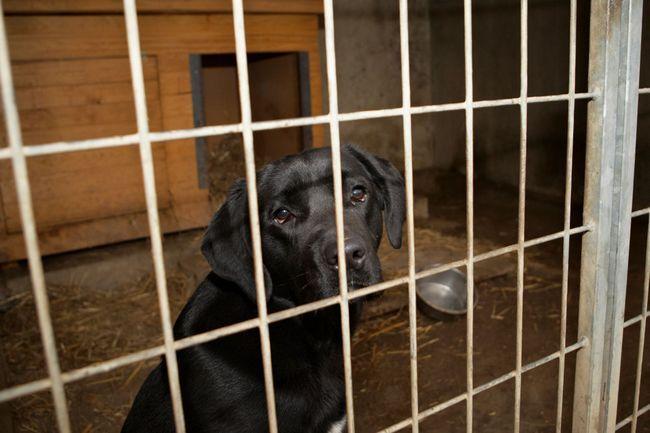 Un Labrador air triste dans une caisse
