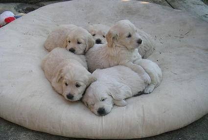 Où obtenir un Labrador: 5 chiots Labrador sur un pouf