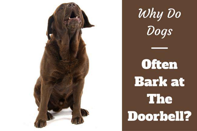 Pourquoi les chiens aboient à la sonnette écrite à côté d`un aboiement choc de laboratoire sur bg blanc