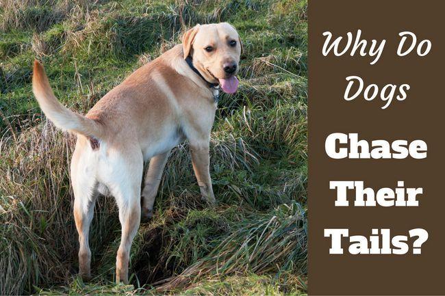 Pourquoi les chiens chassent leurs queues? Est-il jamais rien à craindre?