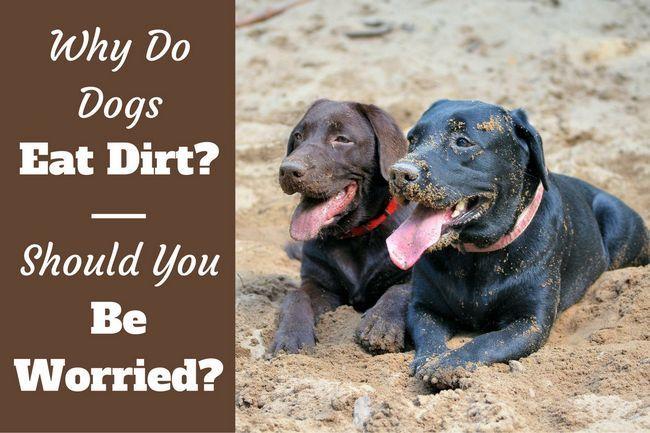 Pourquoi les chiens mangent de la terre? Dois-je être inquiet et essayer de l`arrêter?