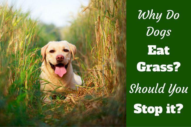 Pourquoi les chiens mangent de l`herbe? Est-il vrai qu`ils le font quand ils sont malades?