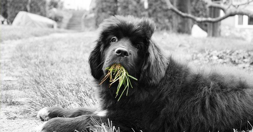 Manger l`herbe fièrement