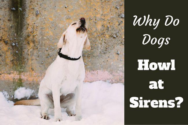 Pourquoi les chiens hurlent à des sirènes?