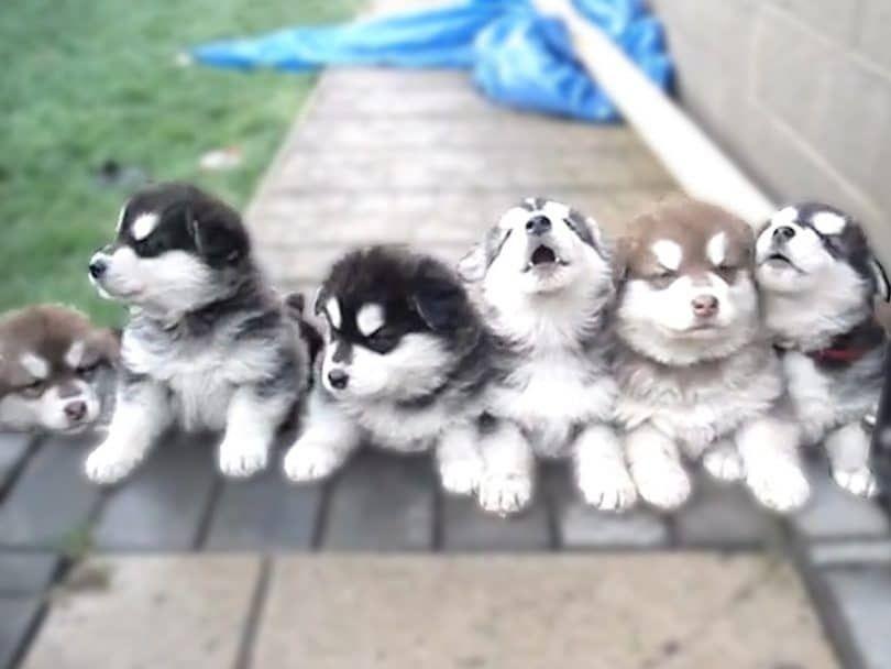 Les chiens hurlent