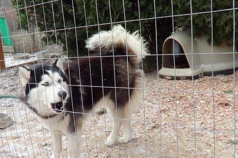 Neige chien hurlement