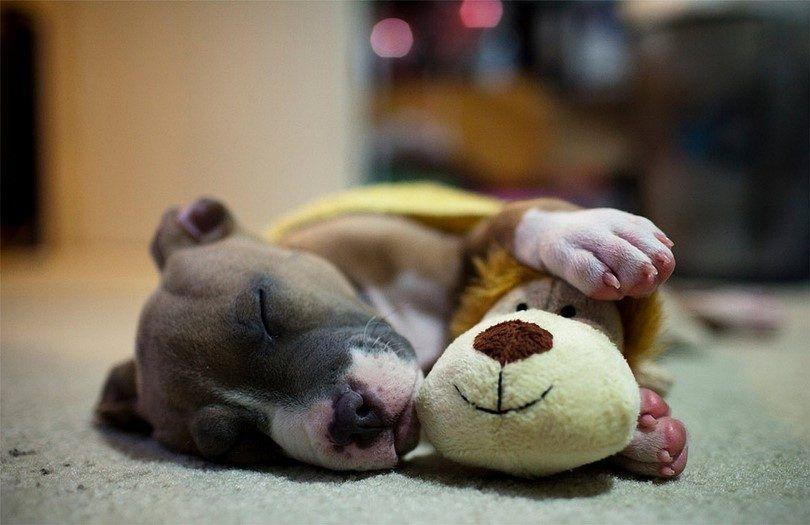 Le chien qui dort avec un jouet