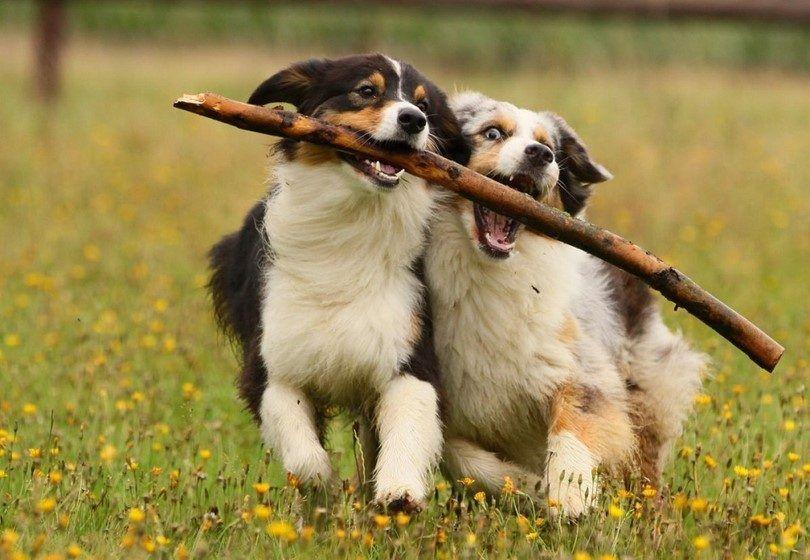 chiens actifs