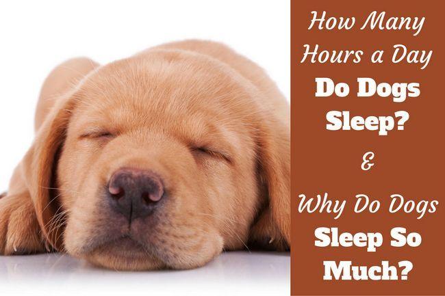 Pourquoi les chiens dorment tellement écrit à côté d`un gros plan d`un chiot de laboratoire de couchage`s face