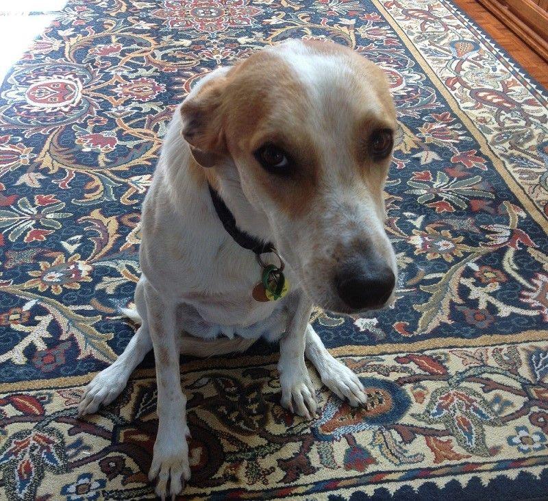 Sad dog sitting et de pleurnicher