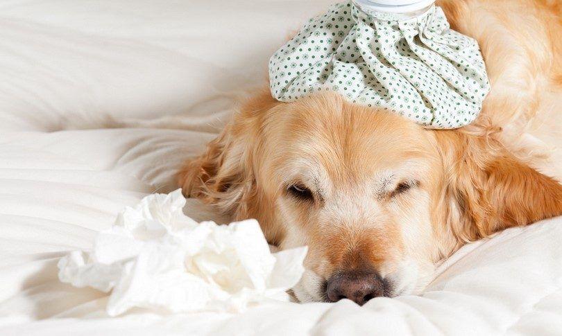 Chien avec la grippe