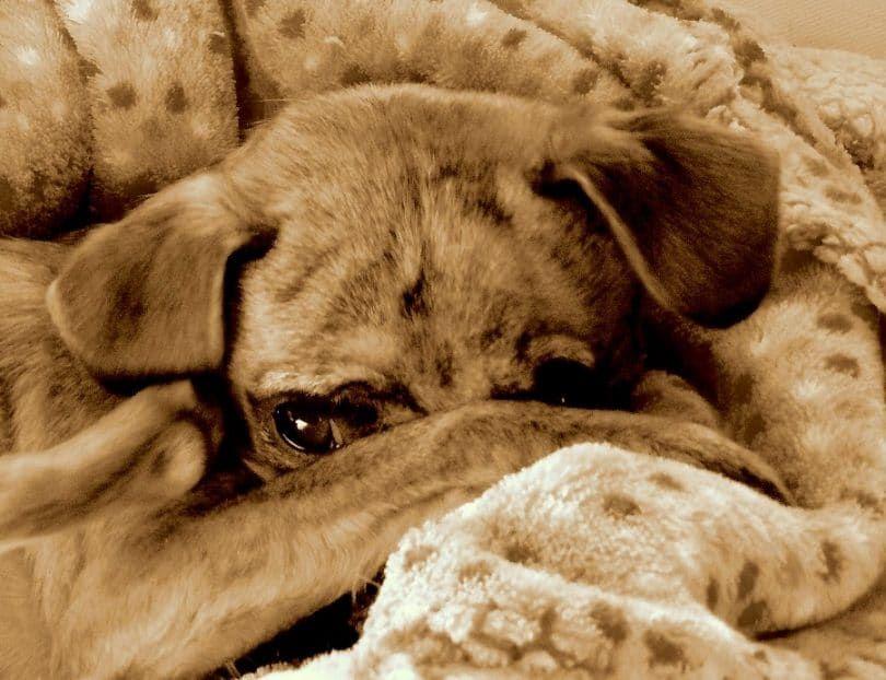 Les chiens qui toux