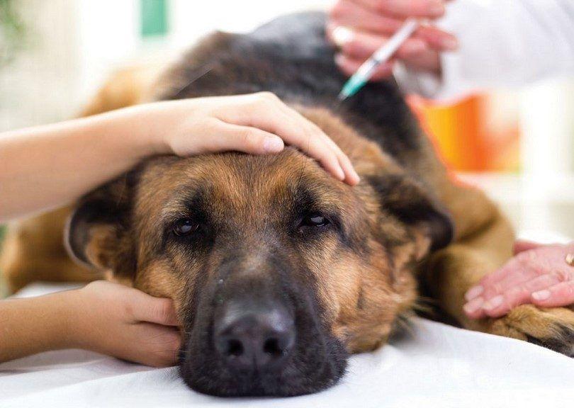 chien Vacciner